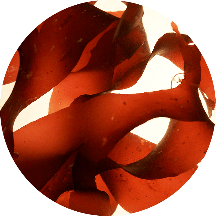 Red alga wirkstoff-red-alga.png