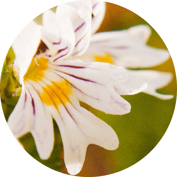 Eyebright wirkstoff-eyebright.png
