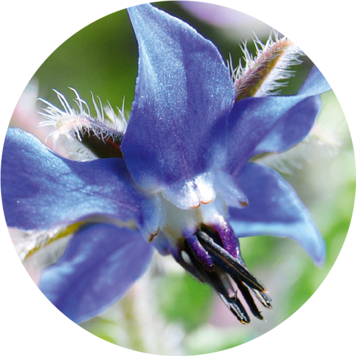 Borage seed oil wirkstoff-borage-seed-oil.png